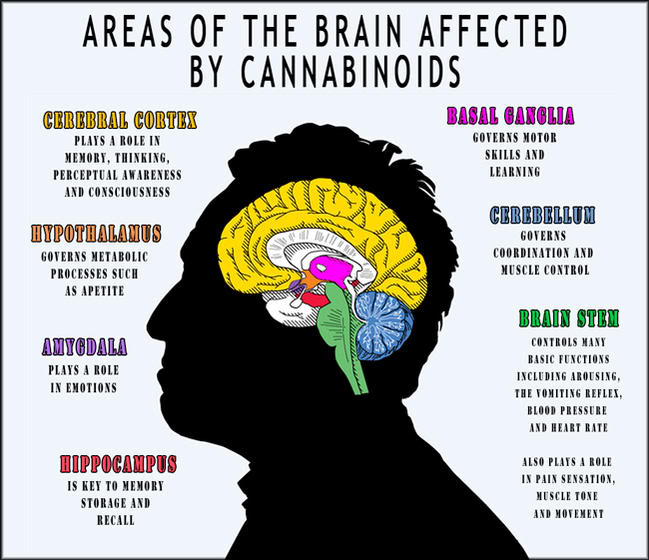 Image result for The areas of the brain most associated with the receptors for  endogenous cannabinoids