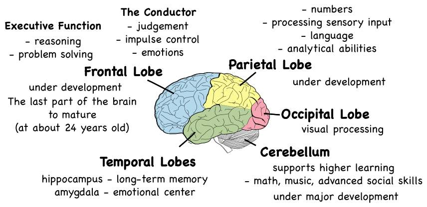 Image result for adolescent brain