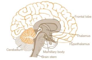 bharatanatyam and brain