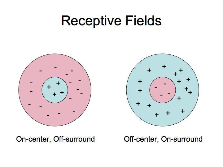 Image result for center surround organization