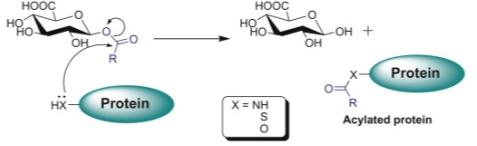 Resultado de imagen para acyl glucuronides