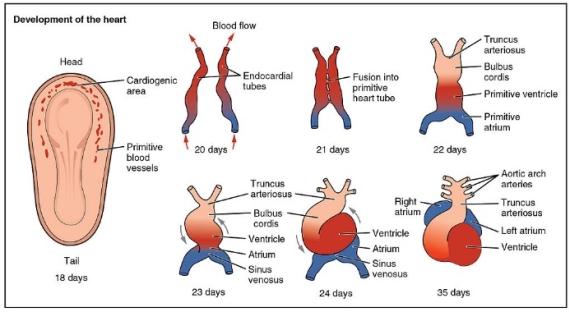 2037 Embryonic Development of Heart.jpg
