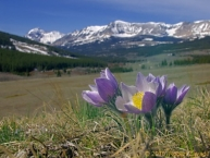 Image result for pasque flower tundra
