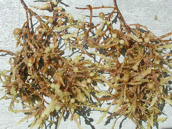 Image result for sargassum tenerrimum