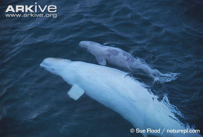 D:Beluga PicturesBeluga-whale-with-calf.jpg
