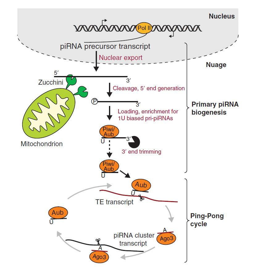 Figure 1: RNA biogenesis. Two pathways, primary piRNA biogenesis and the Ping-Pong cycle, have been implicated in generation of piRNAs in Drosophila germ cells, whereas only primary piRNA biogenesis operates in follicular cells. Long RNAs transcribed from piRNA cluster regions are exported from the nucleus to nuage granules, where many protein components involved in the piRNA pathway localize and where piRNA biogenesis is believed to occur. During primary piRNA biogenesis long piRNA precursors are cleaved by an endonuclease, possibly Zucchini, located in the outer membrane of mitochondria, generating the 5′ end of the future piRNA. The cleaved transcript is loaded into Piwi proteins (Piwi and Aub) and then trimmed from the 3′ end by an unidentified trimmer nuclease to its final length. In the Ping-Pong cycle, Aub loaded with piRNAs recognizes and cleaves complementary RNAs such as transposon (TE) mRNAs or transcripts derived from the opposite strand of the same piRNA cluster. This cleavage produces the 5′ end of a new piRNA that is loaded into Ago3 and in turn can induce cleavage of complementary RNA. This generates a new piRNA that is identical in sequence to the piRNA that initiated the cycle.