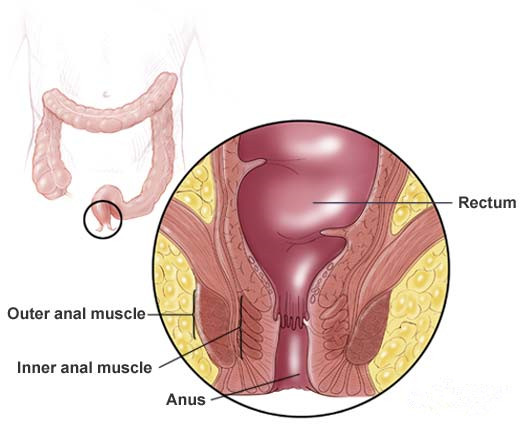 Image result for rectum and anus
