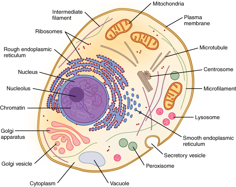 Image result for human cell
