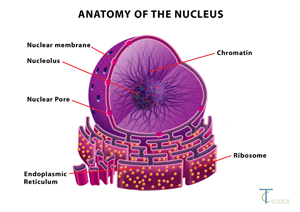 Image result for nucleus