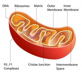 Structure Of Mitochondria1