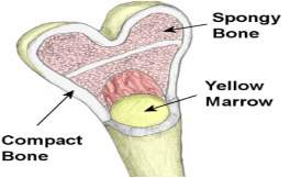 Image result for composition of bone
