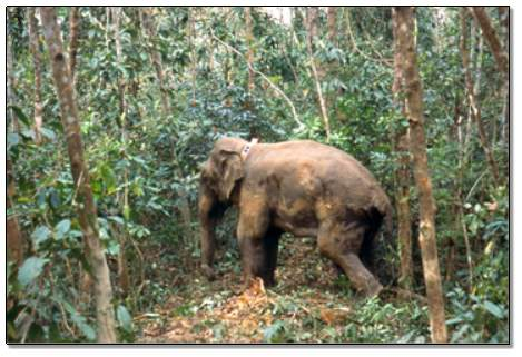 Asian elephant with early Argos system