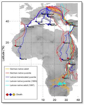 Tracks of lesser spotted eagles during their migrations in 2009, depending on their maturity and birth place. Juveniles born in Latvia and translocated to Germany mostly do not follow the same route than the others, probably because they do not follow experienced adults (credits Prof. Dr. Bernd-U. Meyburg)