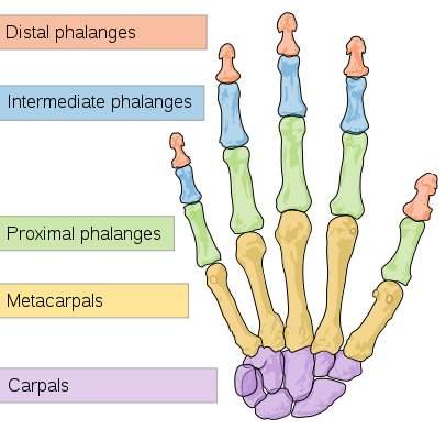 https://upload.wikimedia.org/wikipedia/commons/thumb/a/ab/Scheme_human_hand_bones-en.svg/406px-Scheme_human_hand_bones-en.svg.png