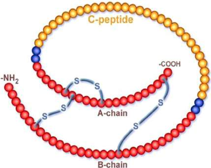 Structure of pro insulin showing C-peptide and the A and B chains of insulin (courtesy www.cebix.com/media/images).