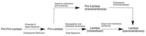 https://upload.wikimedia.org/wikipedia/commons/thumb/c/cd/Lactase_Processing.png/500px-Lactase_Processing.png