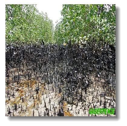 mangrove-spill.jpg
