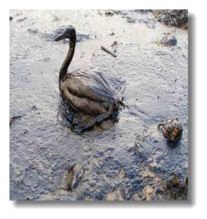 Oiled_Bird_-_Black_Sea_Oil_Spill_111207.jpg