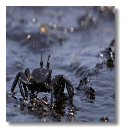 pollution12-oil-covered-crab_16642_600x450.jpg